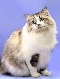 临沂英短蓝猫 渐层 蓝白 美短虎斑 起司 折耳(包纯种健康)