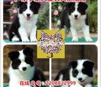 广州边境牧羊犬价格 广州哪里