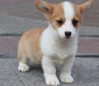精品纯种两色三色 柯基幼犬
