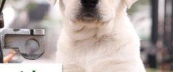 盛诚犬业十多年的养殖经验 养殖纯种拉布拉多幼犬 当面测试交易