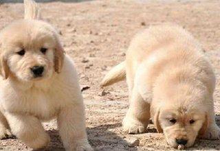 大骨架大头金毛 纯种聪明温顺金毛导盲犬 做齐疫苗