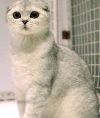 家里的猫发情了怎么办 猫发情乱叫怎么办