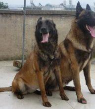小马犬多少钱一只三个月的多少钱 马犬养殖基地
