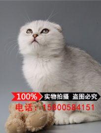 银色渐层折耳苏格兰折耳猫宠物猫活体幼猫