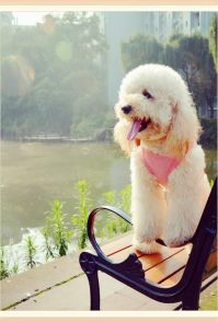 萌宠贵宾犬