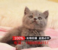 上海猫舍出售英国短猫咪 纯种