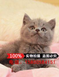 上海猫舍出售英国短猫咪 纯种蓝猫幼猫活体 家养宠
