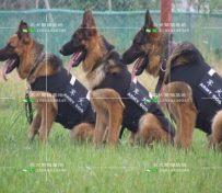 犬舍纯种德系德国牧羊犬幼犬