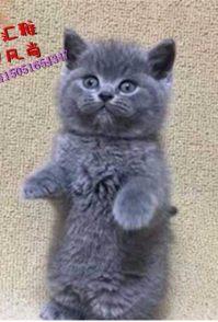 出售萌脾气好爱玩蓝猫萌宝 自家楼房专业繁殖支持