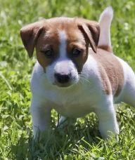 杰克罗素梗犬智商排行 是比较高智商的狗