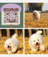 杭州哪里有大白熊卖杭州纯种大白熊多少钱杭州大白熊最便宜多少钱