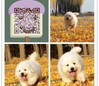 杭州哪里有大白熊卖杭州纯种大