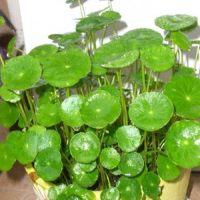 吸毒植物-铜钱草