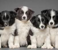 南京边境牧羊犬出售