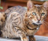 奥西猫-烟台萌猫