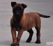 西安宠物店出售马犬