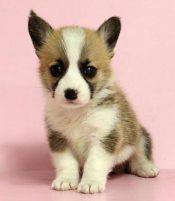 本地犬舍出售纯种柯基幼犬质保三年签署协议