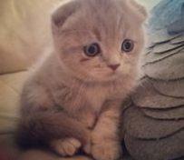 长春苏格兰折耳猫 蓝白折耳