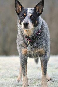 出售CKU认证专业繁殖基地出售可爱银狐犬