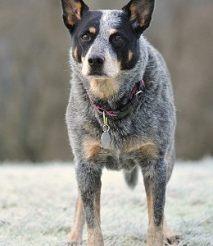 养阿拉斯加雪橇犬注意 对环境的要求很高