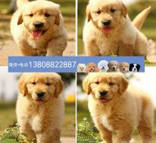广州金毛寻回犬 广州金毛狗场 广州哪里有卖金毛犬
