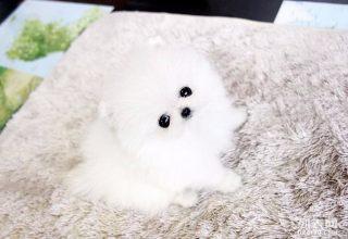 博美-天津名犬