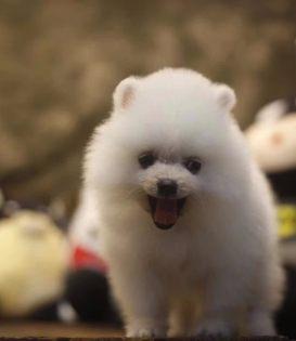 广州博美犬多少钱一只