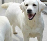 纯种拉布拉多幼犬多少钱一条
