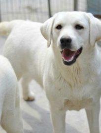 纯种拉布拉多幼犬多少钱一条 拉布拉犬多吃什么狗粮好 颜色漂亮