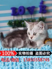纯种美短 加白起司猫幼猫虎斑猫 美短加白 美短猫