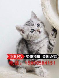美国短毛猫 纯种美短加白起司猫活体美短折耳幼猫立耳