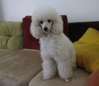 沈阳宠物专卖店出售贵宾犬
