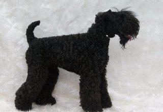 凯利蓝梗-南京名犬