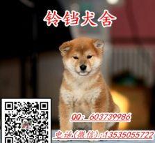 纯种日本柴犬 纯正血统 进口日本柴犬
