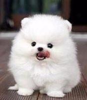 本地犬舍出售纯种博美幼犬质保三年签署协议