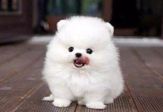 犬舍基地繁殖高品相高智商博美幼犬高品质