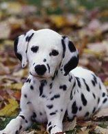 大麦町犬性格 聪明伶俐活泼热情忠心耿耿