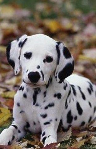 大麦町犬最擅长什么 大麦町犬具有极大的耐力