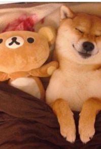 萌宠秋田犬