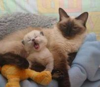 如何抑制母猫发情 主人应对母