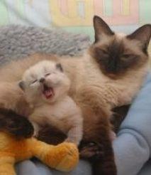 漳州蓝猫 金吉拉 虎斑 布偶 英短 美短 暹罗猫 包纯种健康