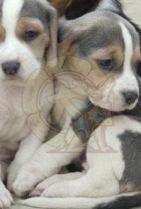 广州大耳朵比格犬 米格鲁小狗出售 可爱健康