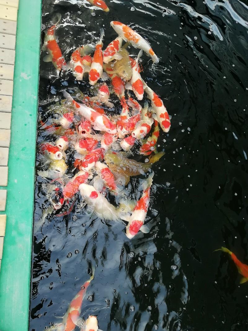 承接鱼池园林设计施工,批发零售进口锦鲤,上门看鱼病,清洗鱼池