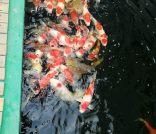 鸿途锦鲤园艺