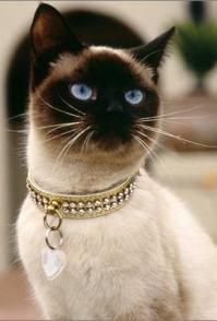 泰国暹罗猫