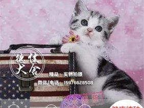 美国短毛猫出售